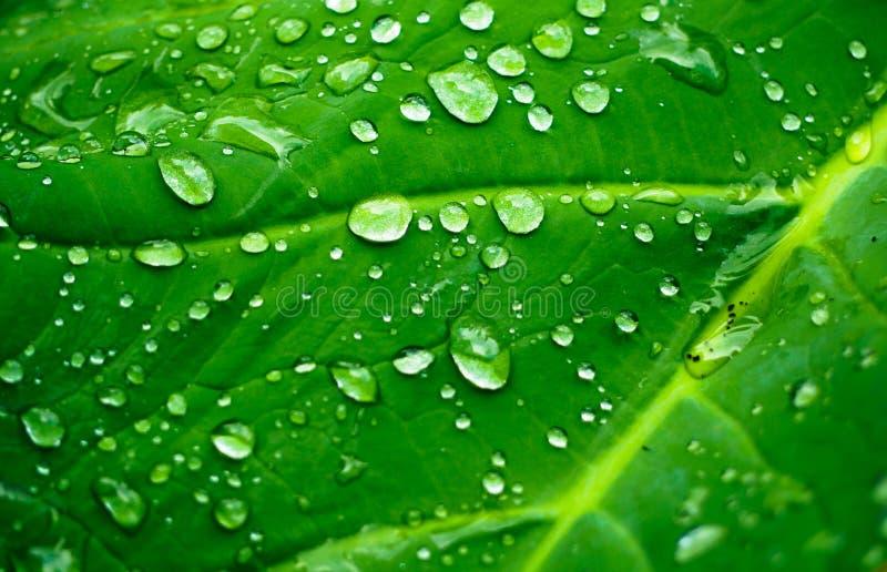 natürlicher Hintergrund des Grünpflanzeblattes mit Regentropfen stockfotografie