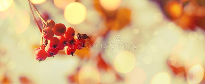 Natürlicher Hintergrund des Herbstes mit orange Beeren und blauem Himmel, Falllandschaft, Weinlesefilter, Fahne, Platz für Text stockbilder
