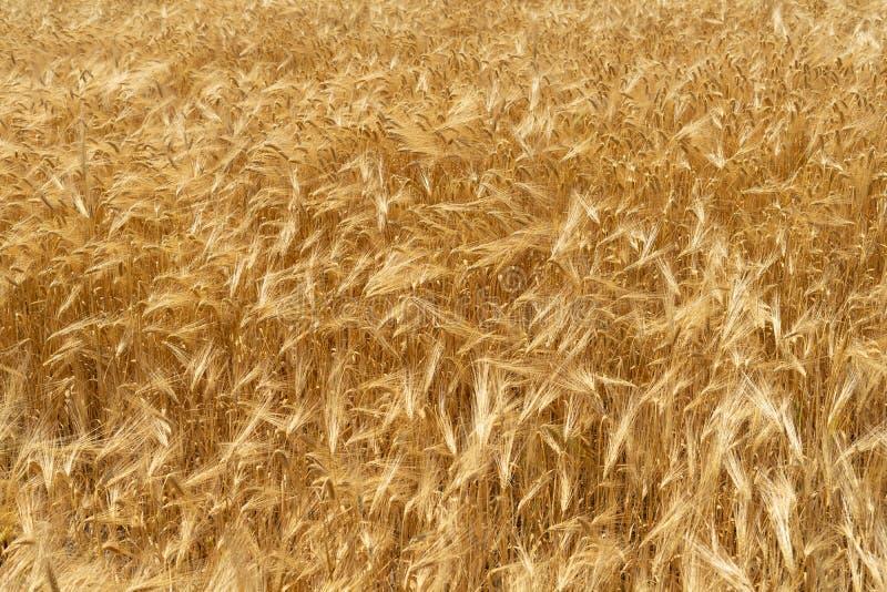 Natürlicher Hintergrund des Weizenfeldes vom reifen gelben Weizen Kreativer Weinlesehintergrund stockfotos