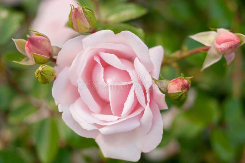 Natürlicher Hintergrund Eine schöne Rosarose mit einigen Knospen auf grünem Hintergrund lizenzfreies stockbild