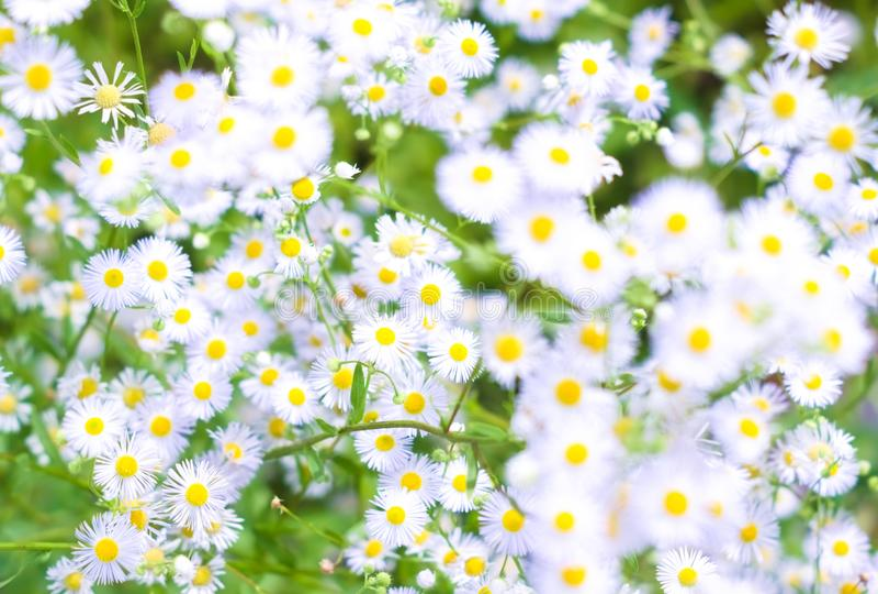 Natürlicher Hintergrund mit kleinen weißen Gänseblümchen lizenzfreie stockfotos