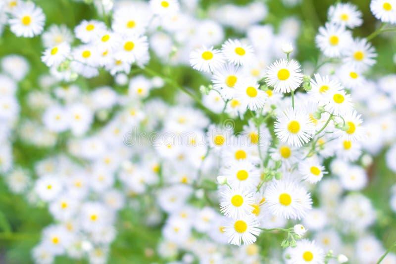 Natürlicher Hintergrund mit kleinen weißen Gänseblümchen stockfotografie