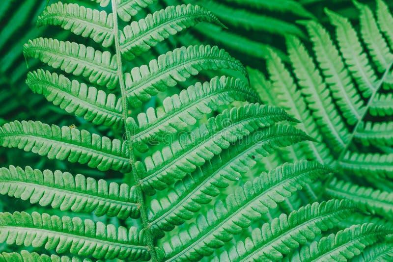 Natürlicher Hintergrund vom grünen Blatt des Farns stockbilder