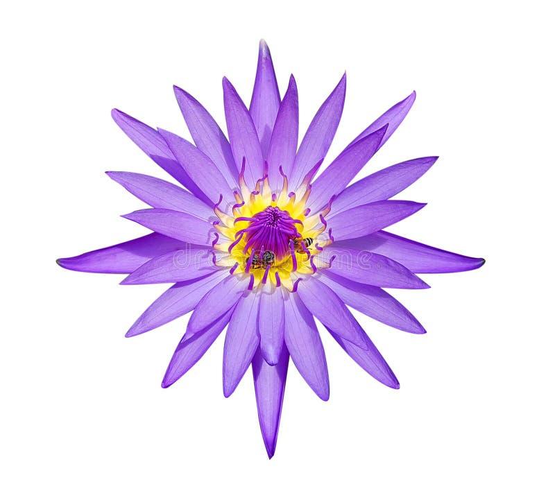 Natürlicher violetter Lotos und Bienen lokalisiert auf weißem Hintergrund mit lizenzfreie stockbilder