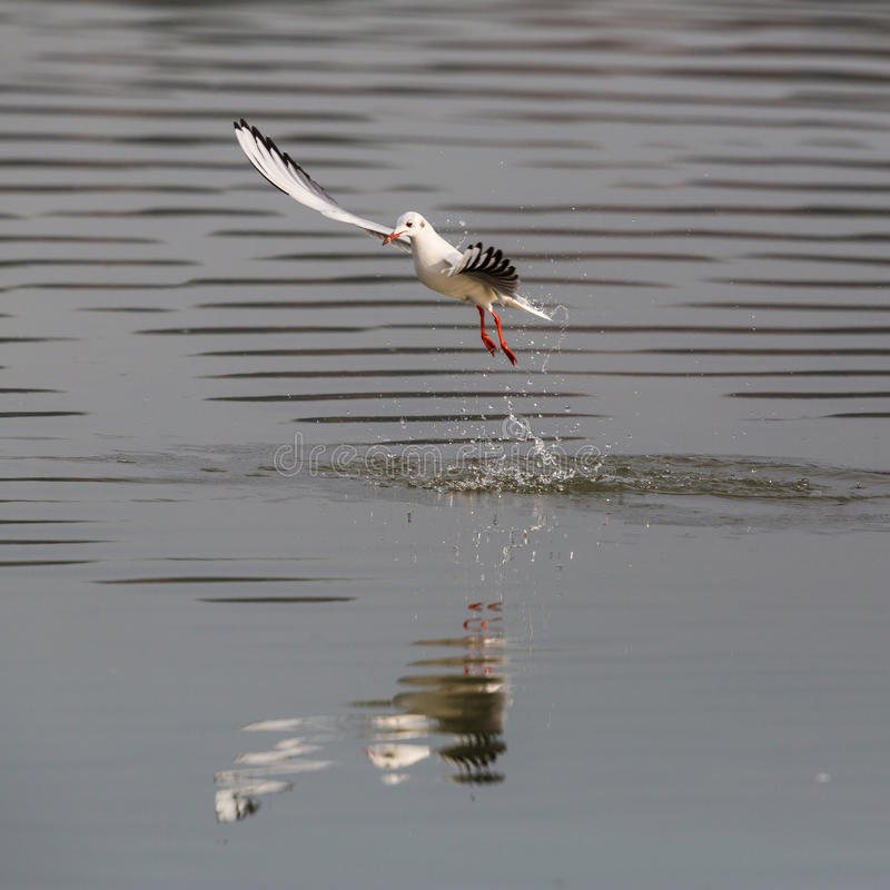 Natürliches allgemeines Lachmöwe Larus ridibundus Fischen stockfotografie