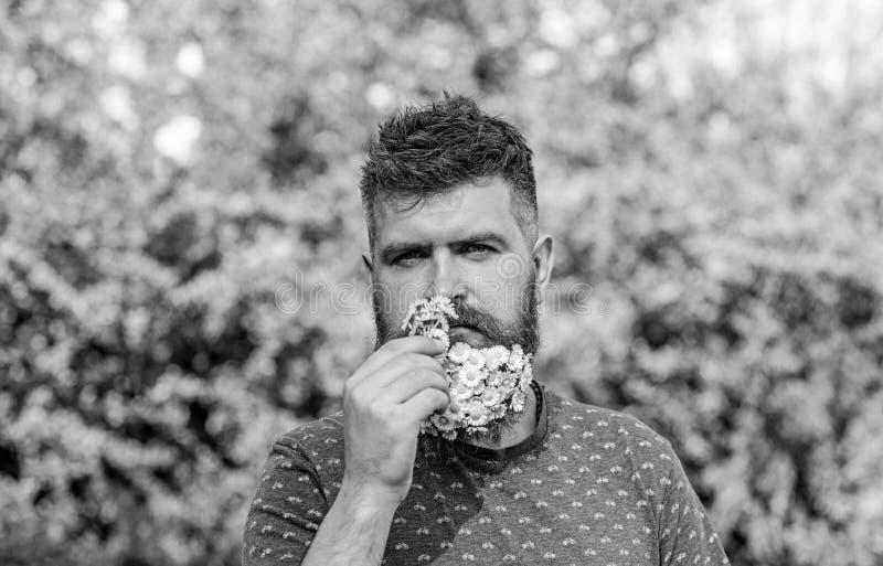 Natürliches Aromakonzept Bärtiger Mann mit Gänseblümchenblumen im Bart Mann mit Bart und dem Schnurrbart auf strengem Gesicht sch lizenzfreies stockbild