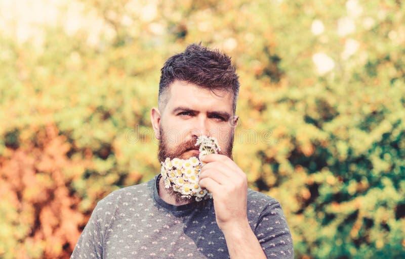 Natürliches Aromakonzept Bärtiger Mann mit Gänseblümchenblumen im Bart Mann mit Bart und dem Schnurrbart auf strengem Gesicht sch lizenzfreie stockfotografie