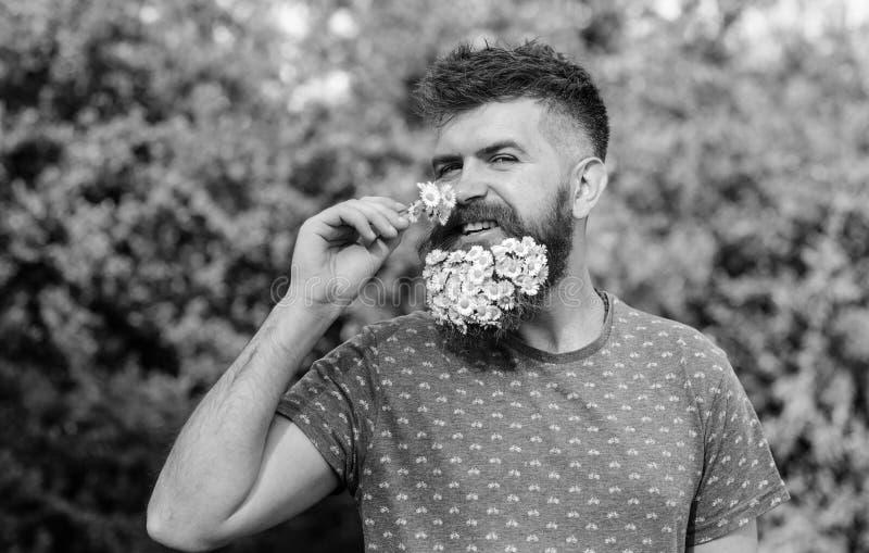 Natürliches Aromakonzept Hippie mit Blumenstrauß von Gänseblümchen im Bart Bärtiger Mann mit Gänseblümchenblumen im Bart Mann mit stockfotografie