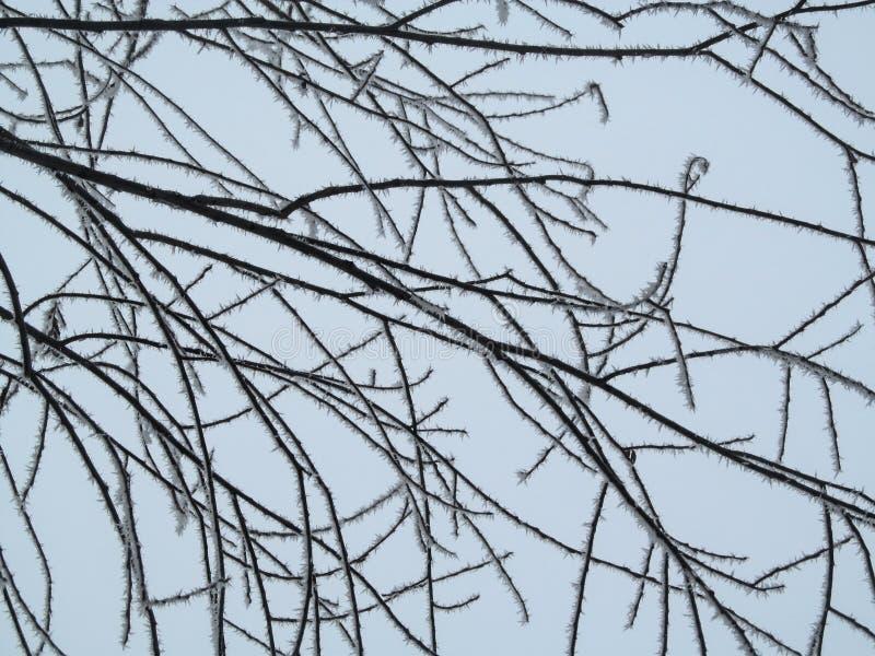 Natürliches geometrisches Wintermuster von Linien von Baumasten in den Reif Schneedornen auf den Stämmen eines Schlafenbaums auf  lizenzfreies stockfoto