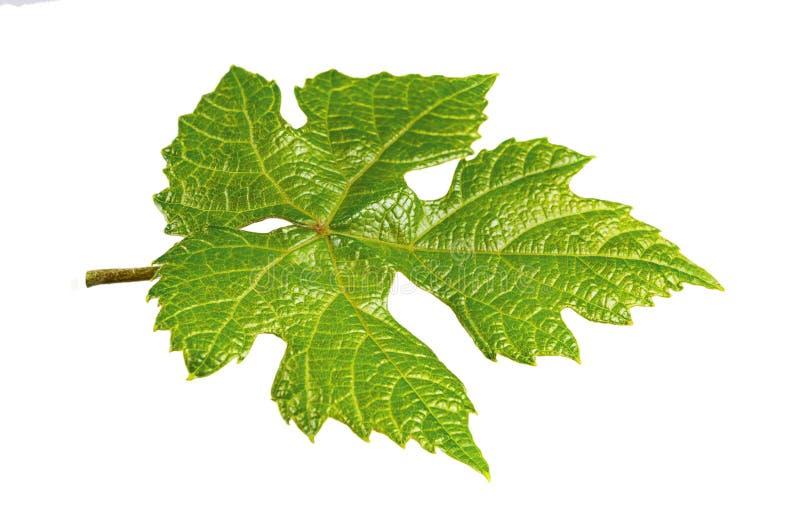 Natürliches Gestaltungselement-Grün-Trauben-Blatt lokalisiert auf weißem Hintergrund lizenzfreie stockfotografie