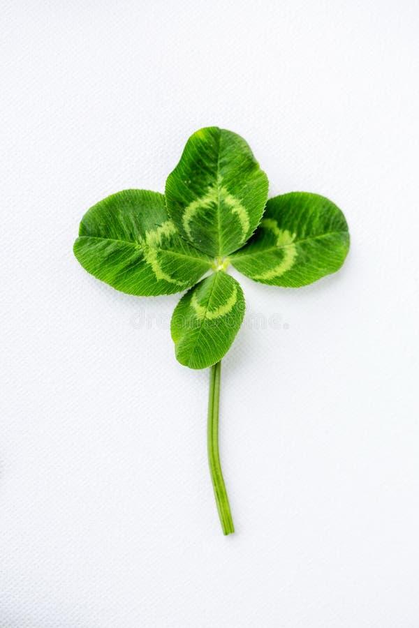 Natürliches grünes frisches Shamrockvierblättriges kleeblatt auf weißem Hintergrund lizenzfreie stockbilder