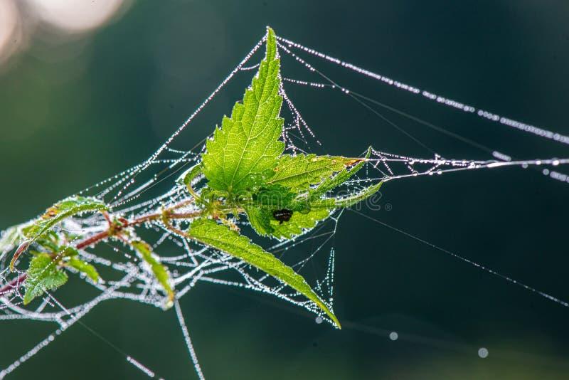 natürliches Spinnennetzspinnennetz im Morgenlicht mit Tautropfen lizenzfreies stockbild