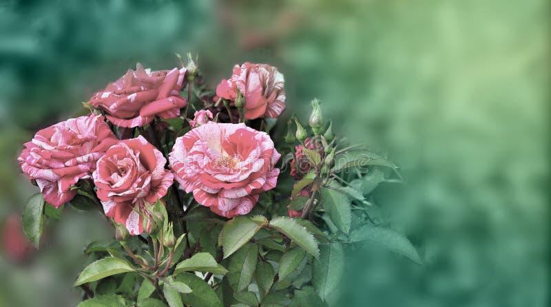 tiger gestreifte rose