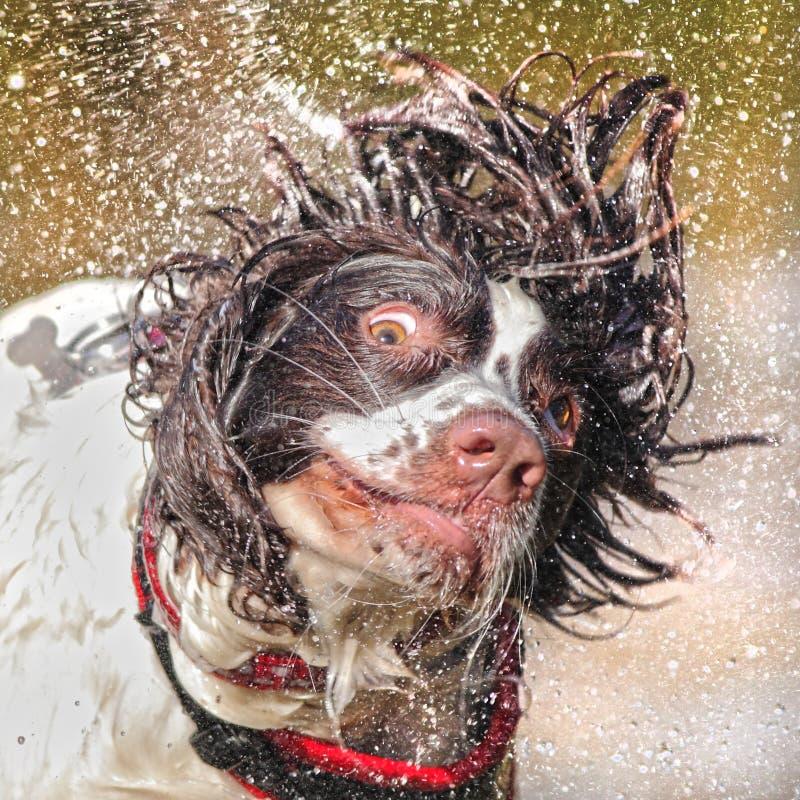 Nat hond het schudden hoofd stock afbeelding
