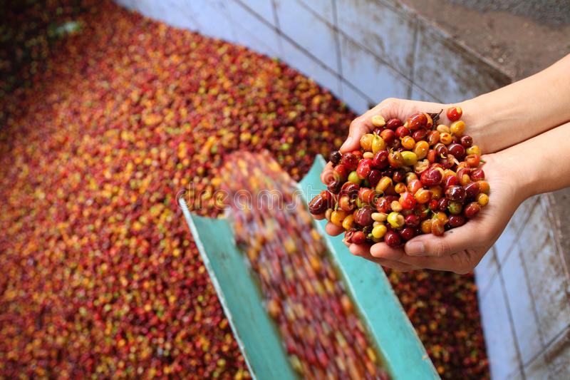 Nat Proces van arabica koffie. royalty-vrije stock afbeeldingen