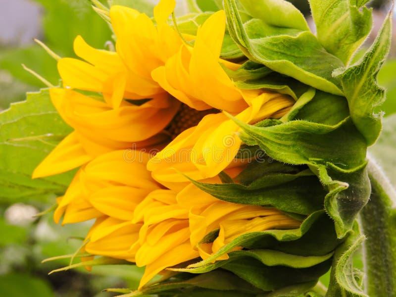 Nat?rlicher Hintergrund der Sonnenblume Sonnenblumenbl?hen Nahaufnahme der Sonnenblume Sonnenblumen in Frankreich Beschneidungspf lizenzfreie stockbilder