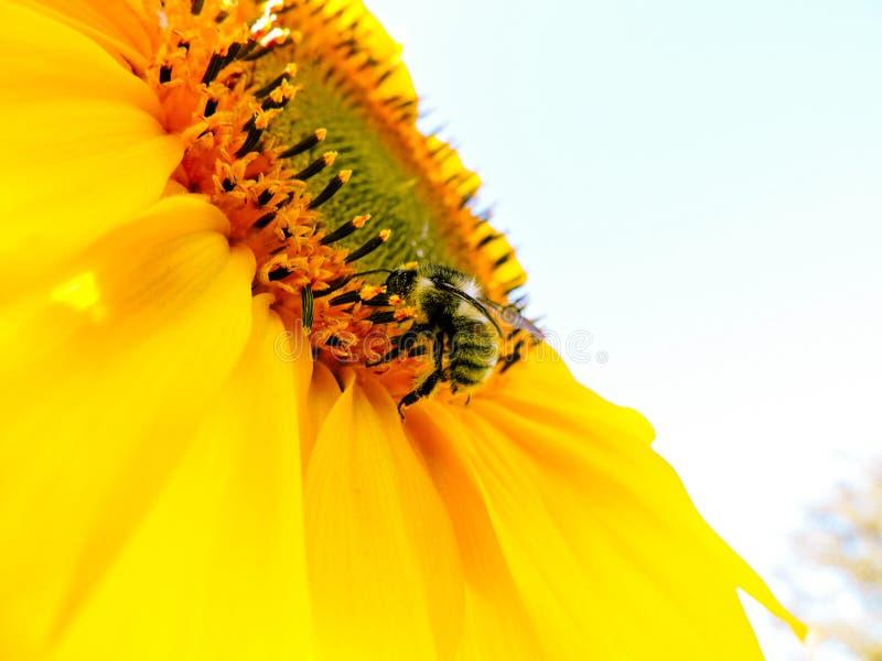 Nat?rlicher Hintergrund der Sonnenblume Sonnenblumenbl?hen Nahaufnahme der Sonnenblume Sonnenblumen in Frankreich Beschneidungspf lizenzfreies stockfoto