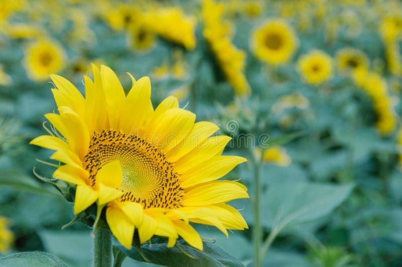 Nat?rlicher Hintergrund der Sonnenblume Sonnenblumenbl?hen Sonnenblumenfeldlandschaft lizenzfreie stockbilder