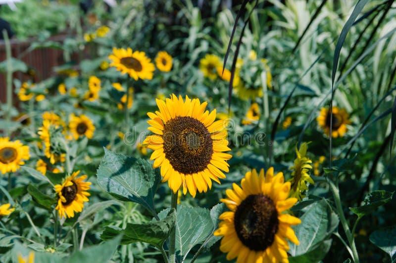 Nat?rlicher Hintergrund der Sonnenblume Sonnenblumenbl?hen Sonnenblumenfeldlandschaft stockbilder