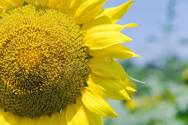 Nat?rlicher Hintergrund der Sonnenblume Sonnenblumenbl?hen Sonnenblumenfeldlandschaft stockbild
