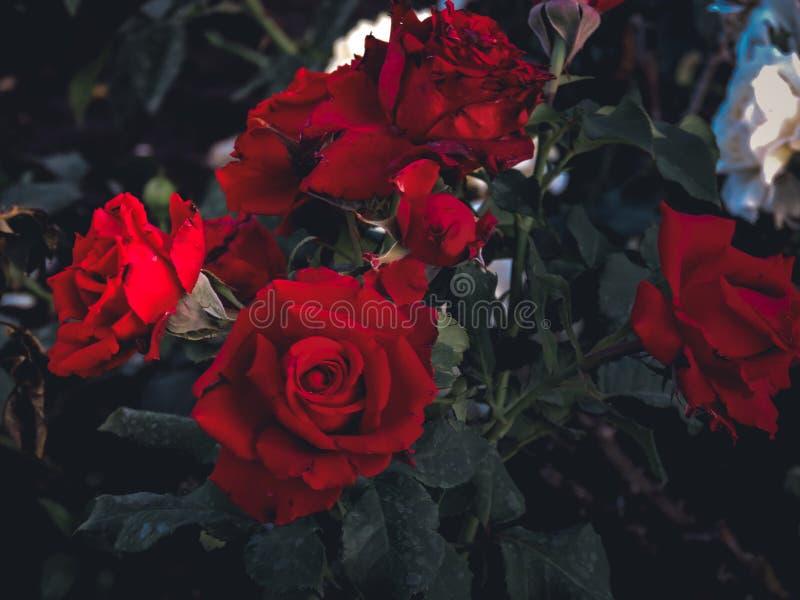 Nat?rlicher rosa Rosenhintergrund rosafarbener Blumenblumenstrau? - Hochzeit, Feiertag und Blumengarten angeredetes Konzept stockfotos