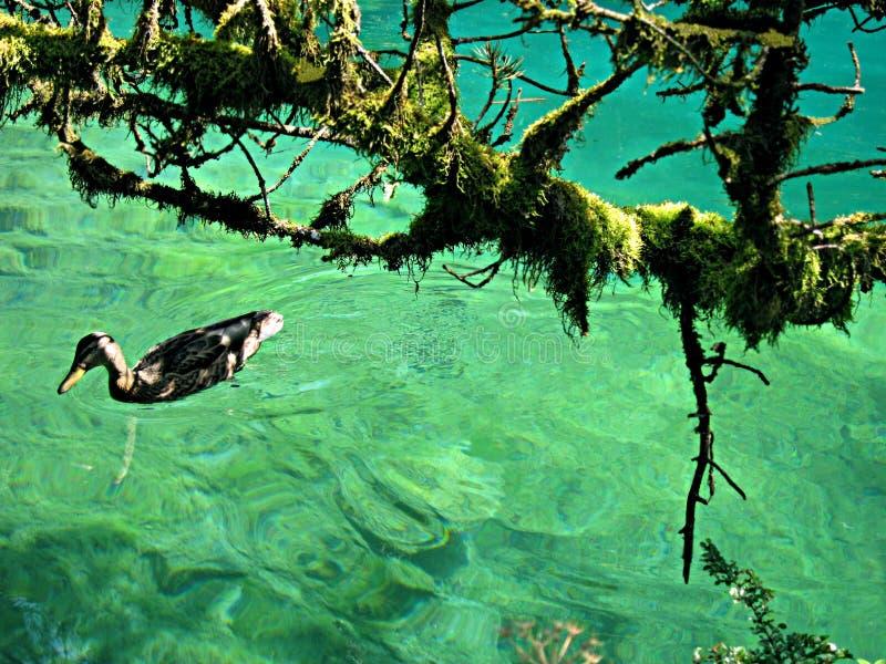 Natação adulta do pato no lago Blausee, Suíça imagens de stock royalty free