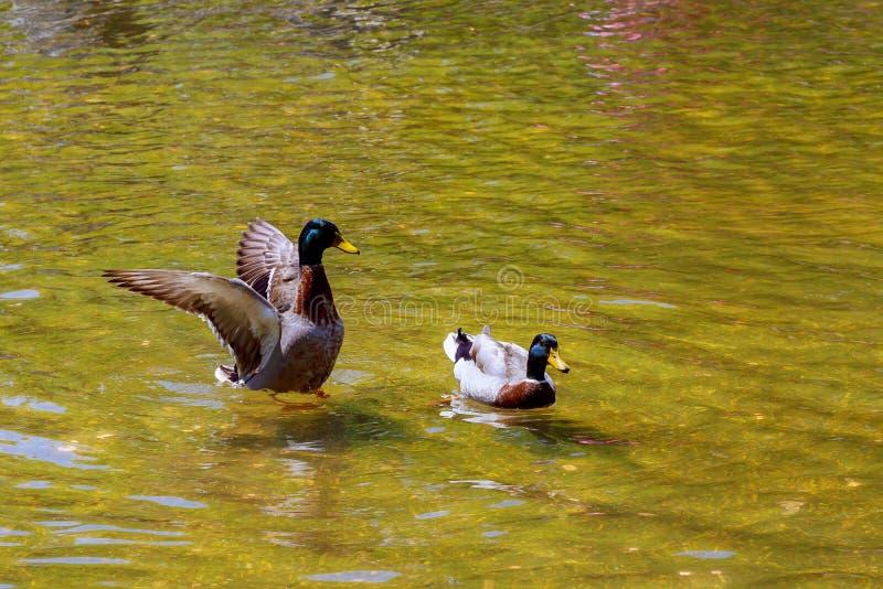 Natação bonita do pato Fundo do lago nature imagem de stock