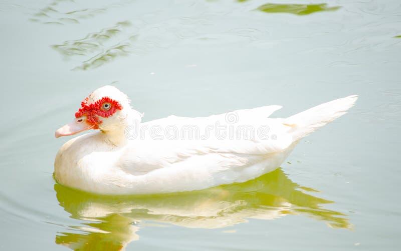Natação branca bonita do pato do moschata do Cairina em uma lagoa de água fotos de stock