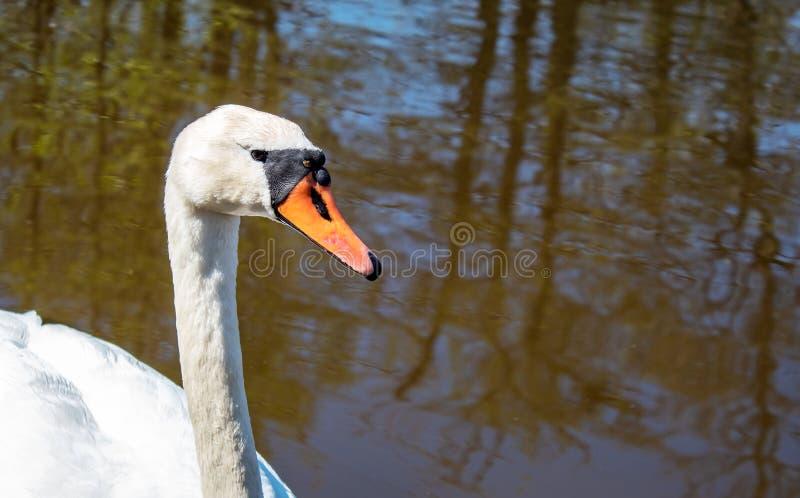 Natação branca da cisne em um close up da lagoa foto de stock royalty free