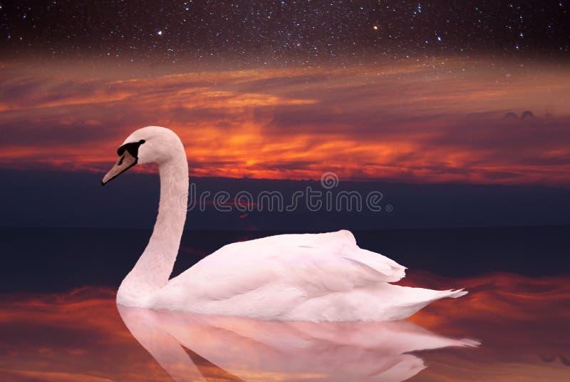 Natação branca da cisne em uma lagoa no por do sol. foto de stock