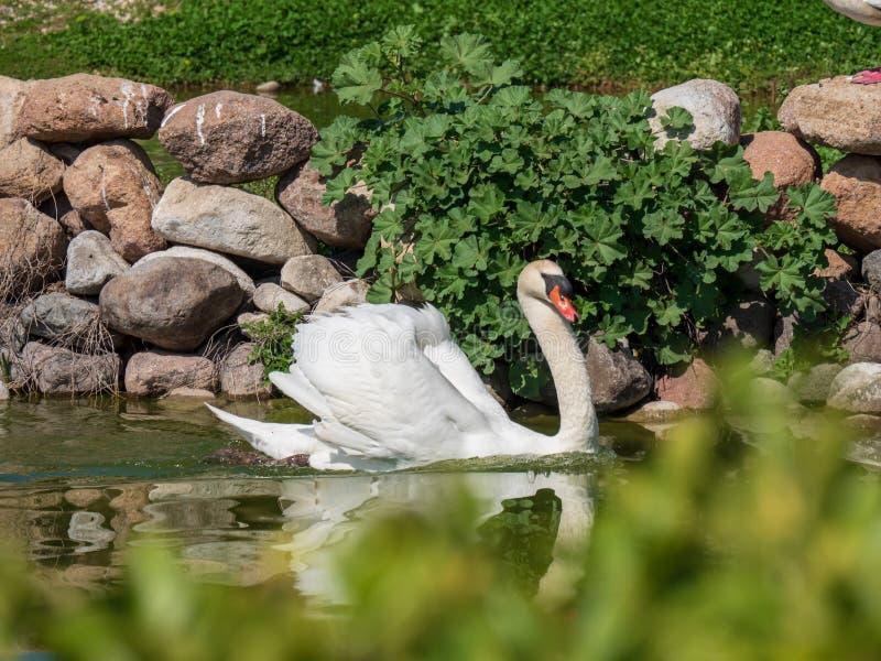 Natação branca da cisne na lagoa fotografia de stock