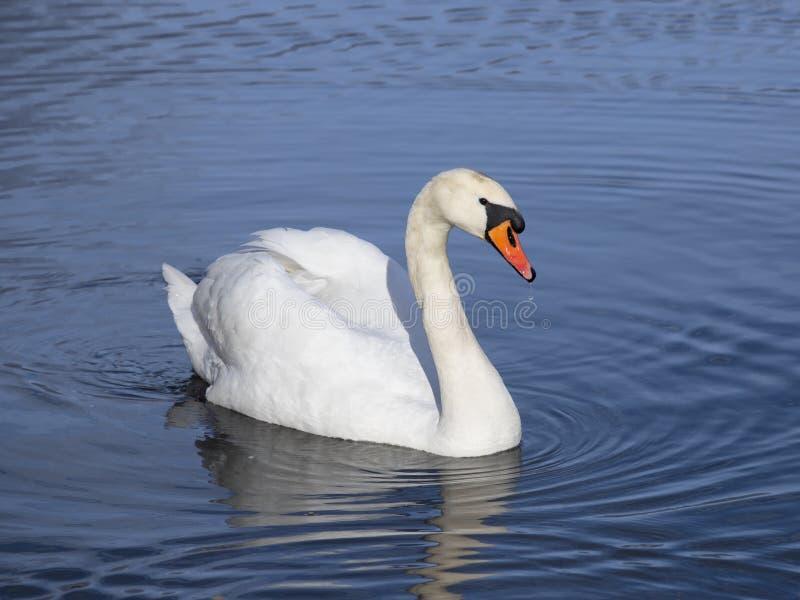 Natação branca da cisne no lago imagem de stock royalty free