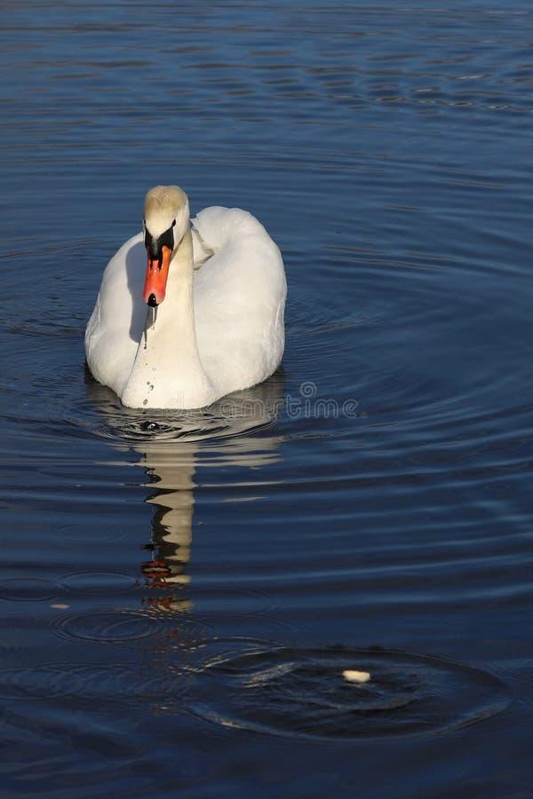 Natação branca da cisne no lago imagens de stock