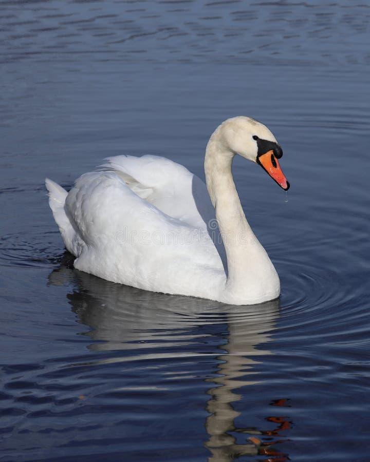Natação branca da cisne no lago imagem de stock