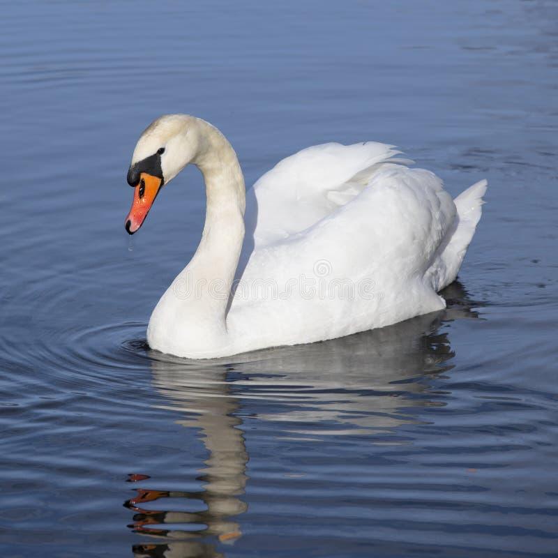 Natação branca da cisne no lago foto de stock