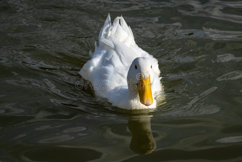 Natação branca pesada do pato de Pekin para a câmera foto de stock royalty free