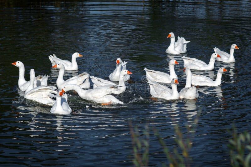 A natação calma dos gooses brancos imagens de stock royalty free