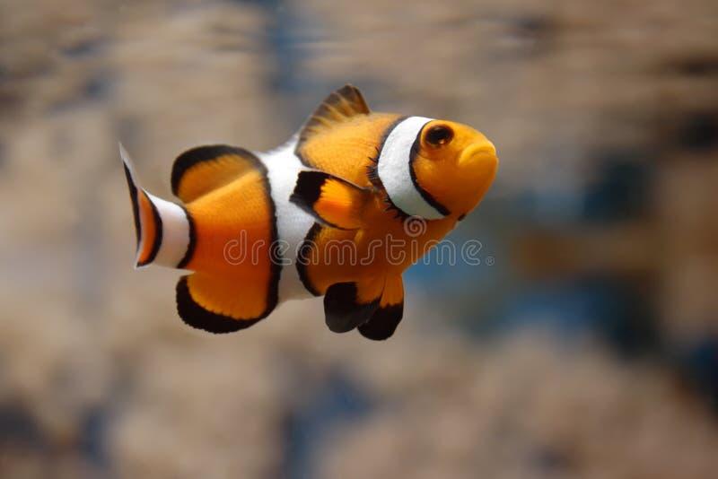 Natação Clownfish II foto de stock royalty free