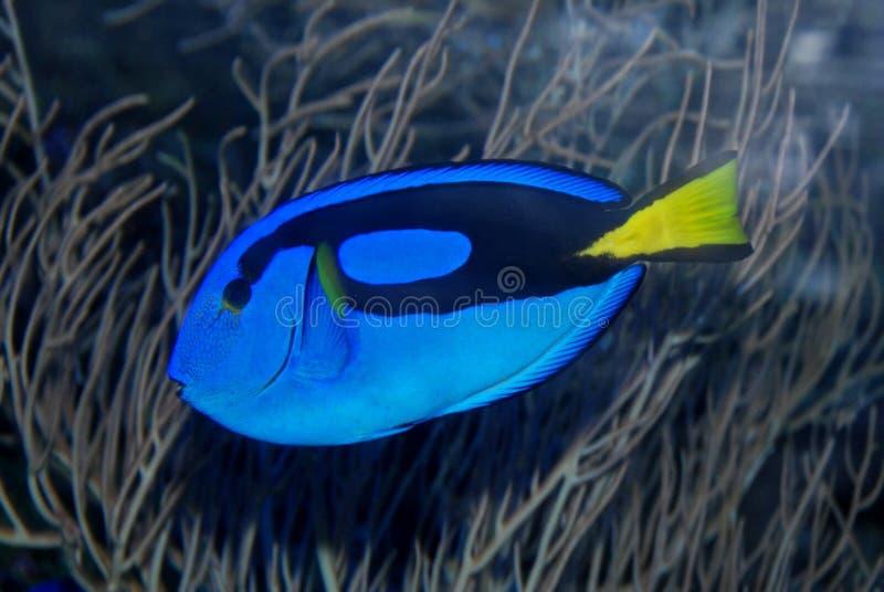Natação colorida dos peixes no aquário imagem de stock