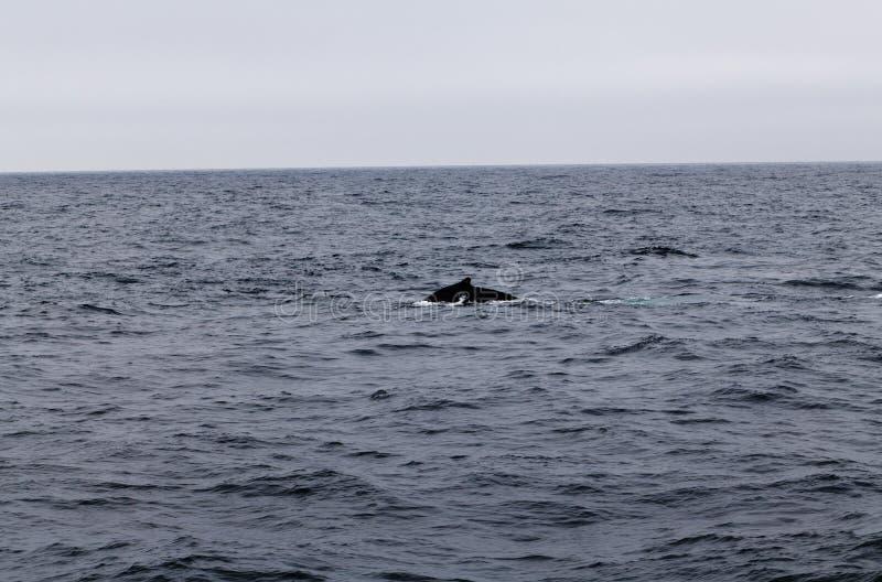 Natação da baleia de corcunda na baía Califórnia de Monterey imagem de stock