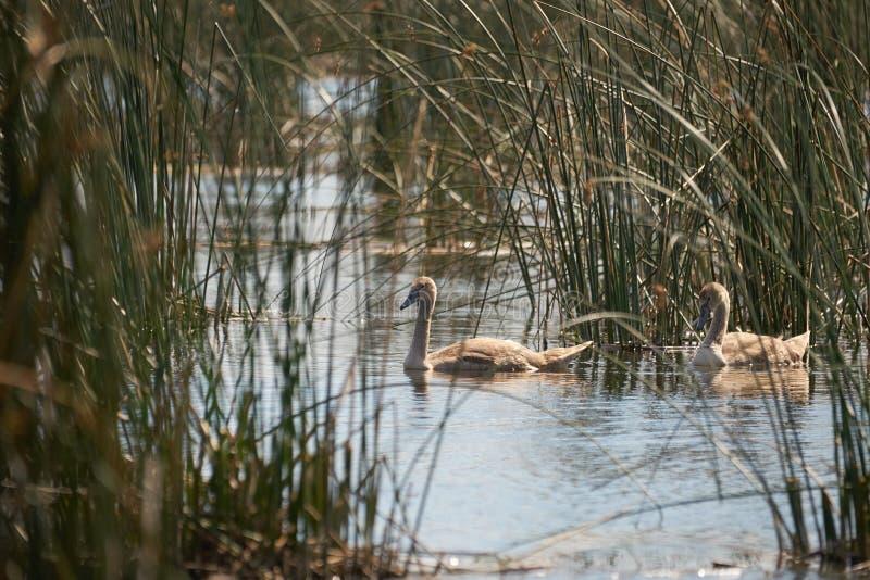 Natação da cisne de dois jovens no lago Comana imagem de stock