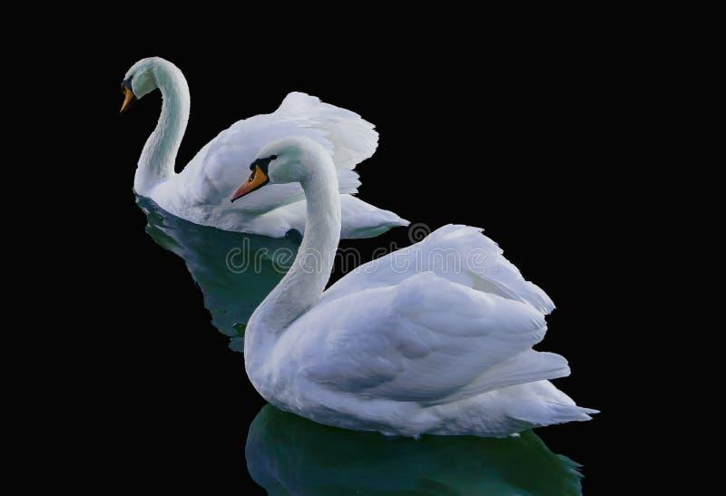 Natação da cisne em um lago fotos de stock royalty free
