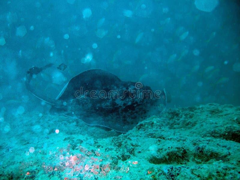 Natação da raia de Manta no oceano imagens de stock royalty free