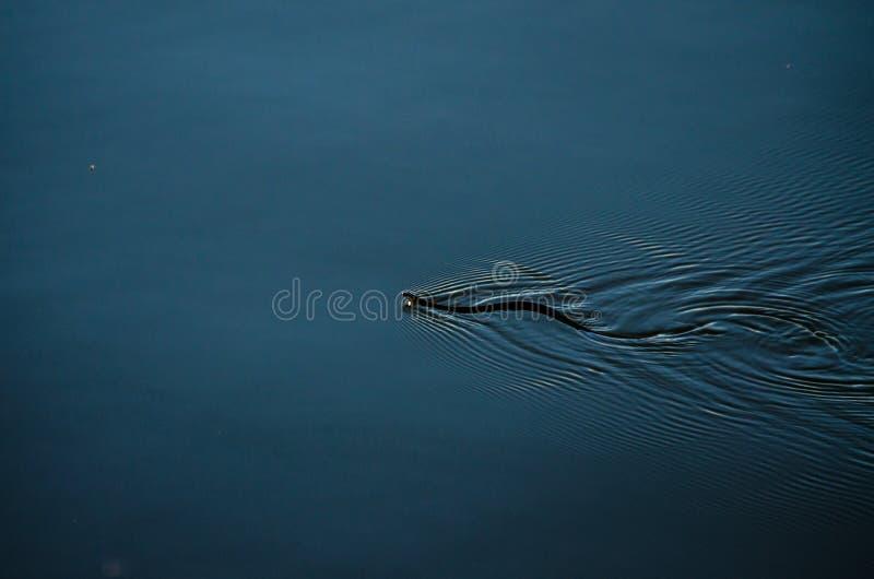 Natação da serpente na água imagens de stock royalty free
