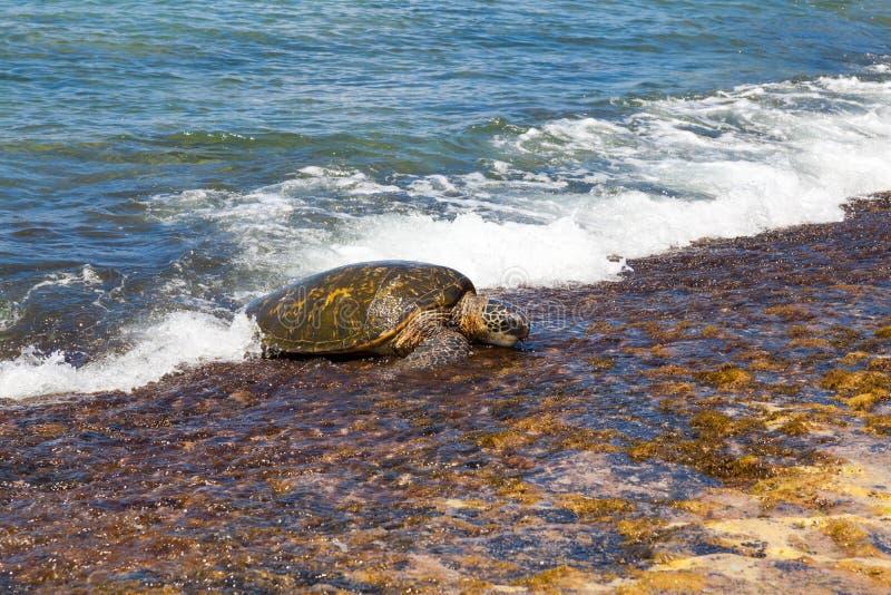 Natação da tartaruga de mar verde foto de stock