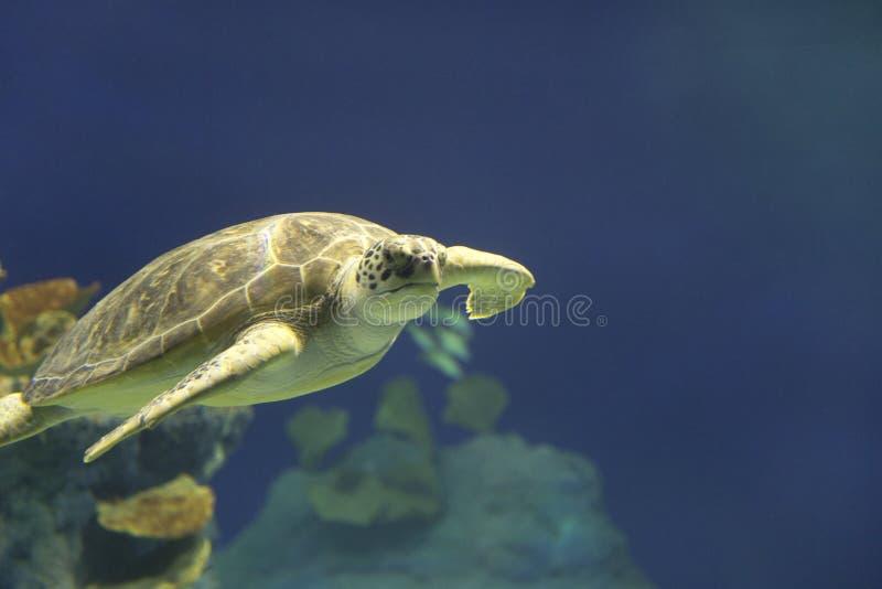 Natação da tartaruga de mar verde em Havaí fotos de stock royalty free