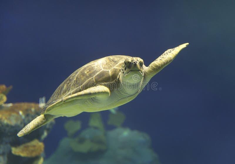 Natação da tartaruga de mar verde em Havaí imagens de stock