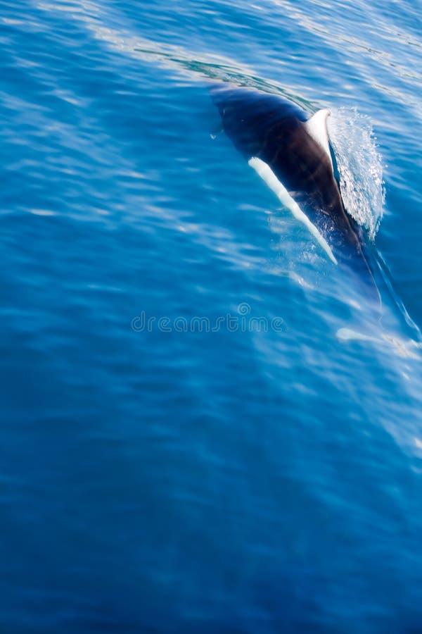 Natação da toninha de Dall fotografia de stock