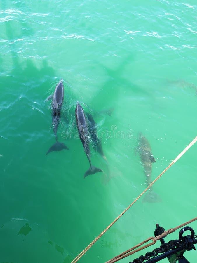 Natação da vagem do golfinho pelo navio imagem de stock royalty free