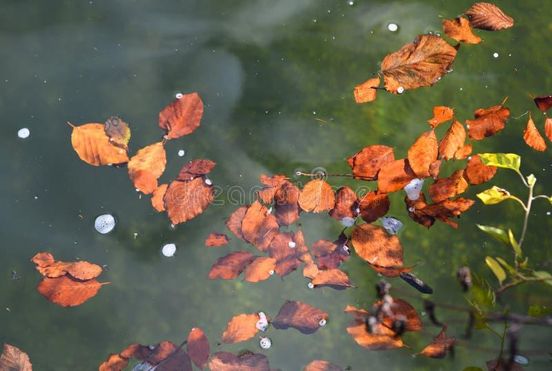 Natação das folhas de outono na superfície da água fotografia de stock royalty free